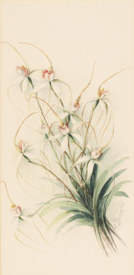 Caladenia Candida