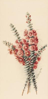 Verticordia Grandis