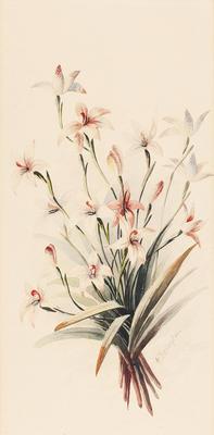 Glossodia cinanginata