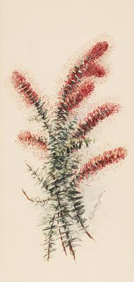 Proteacea