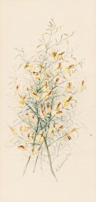 Jacksonia sternbergiana