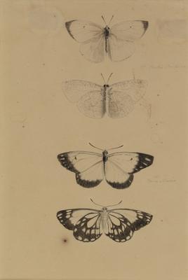 Portia Crokera, 130 Puris Niscia; c 1818; 2000/0044