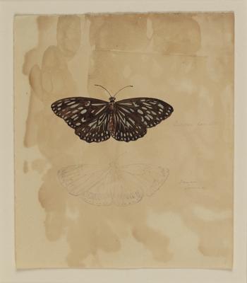 Euplea Lamath, Danan Corinna; c 1818; 2000/0043