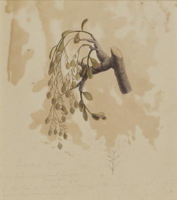 Parasite on Fagus; c 1818; 2000/0045