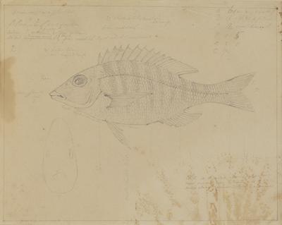 P. Praya Pescoides; c 1818; 2000/0049