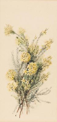 Calythrix flacescens