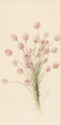 Trichinium Drummondii
