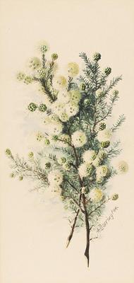 Kunzea ericifolia; c 1891-c 1926; 1936/0W69