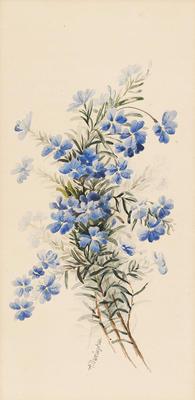 Dampiera linearis; c 1891-c 1926; 1936/0W70