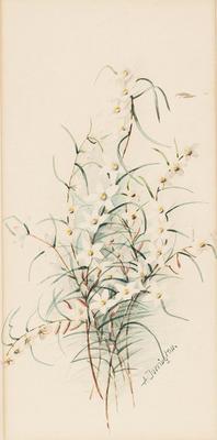 Crowea angustifolia; c 1891-c 1926; 1936/0W71