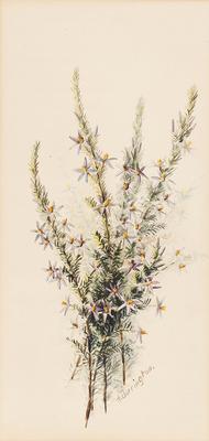 Calectasia cyanea; c 1891-c 1926; 1936/0W76