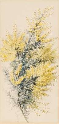 Acacia Baileyanan; c 1891-c 1926; 1936/0W77