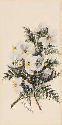 Solanum; c 1891-c 1926; 1936/0W78