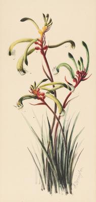 Anigozanthos bicolor