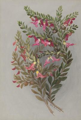 Eremophila Maculata; 16 Sep 1889; 1933/00W8