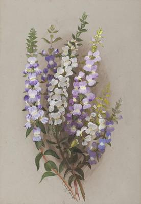 Stemodia Grossa; Sep 1889; 1933/00W9