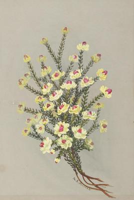 Geleznowa Verrucosa; 1889; 1933/0W10