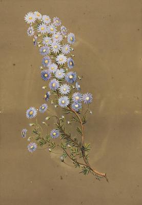 Olearia ciliata [fringed daisy bush]; 1884; 1933/0W11
