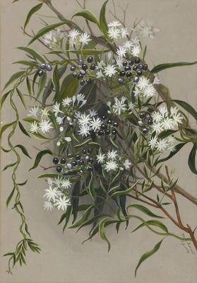 Jasminum calcareum [native jasmine]