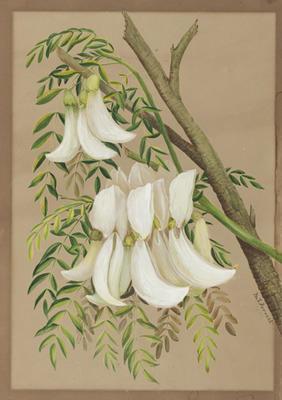 Sesbania Formosa (White Dragon Tree)