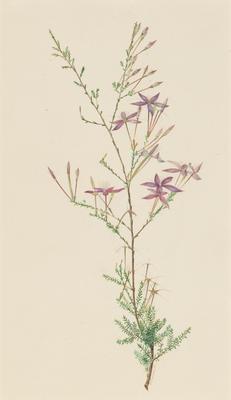Fraser's Calythrix (Calythrix Faseri); 1903; 1903/00W1