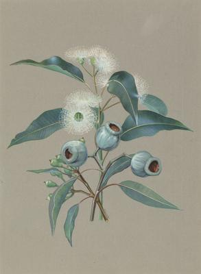 Marri or Red Gum (Eucalyptus Calophylla); c 1896-c 1903; 1903/00W2