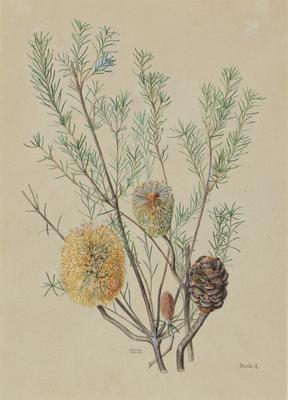 Round Fruited Banksia (Banksia Spherocarpa); c 1896-c 1903; 1903/00W3