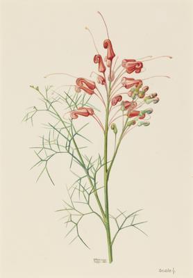 Wilsons Grevillea (Grevillea Wilsonii); 1903; 1903/00W4
