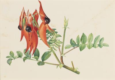 Sturt Pea (Clianthus Formosus)