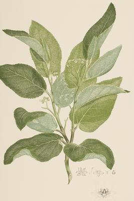 Commersonia bartramia (from Banks' Florilegium Part II)
