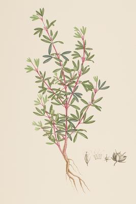 Zieria pilosa (from Banks' Florilegium Part II)