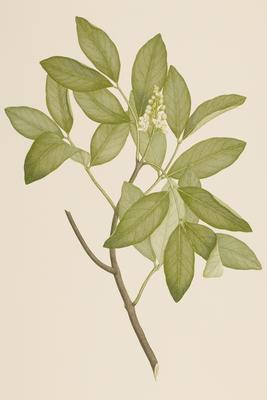 Xylocarpus granatum (from Banks' Florilegium Part II)