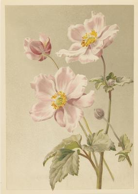Pink Japanese Anemone; 1886; 1970/Q110
