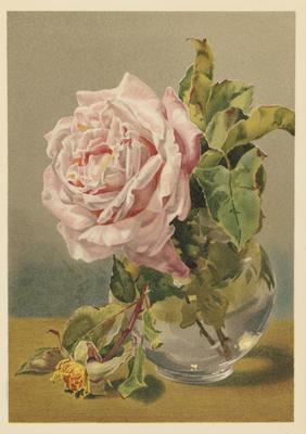 Pale Pink Rose; 1886; 1970/Q113