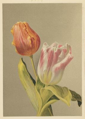 Tulips; 1886; 1970/Q114