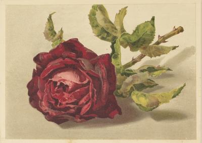 Crimson Rose (frontis)