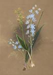 Thelymitra Crinita (Blue Lady Orchid)